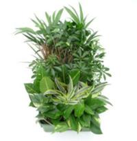 Hydrokultur Zimmerpflanzen Areca lutescens KT 13//12 Hydrokultur-Pflanzen